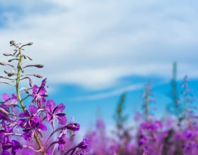 Image of fireweed from the cover of Emerging Stronger